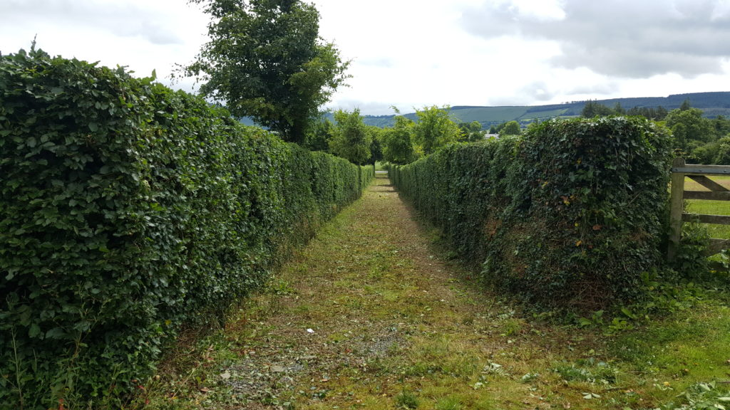 Hedge after trimming and shaping